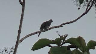 Burung perkutut lokal manggung gacor di pagi yang dingin