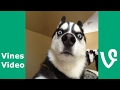 Funny Animals Vines  Vine compilation November 2016