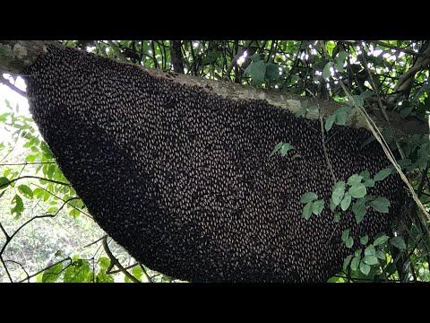 Cách bắt ong khoái-bắt tổ ong khoái đơn giản
