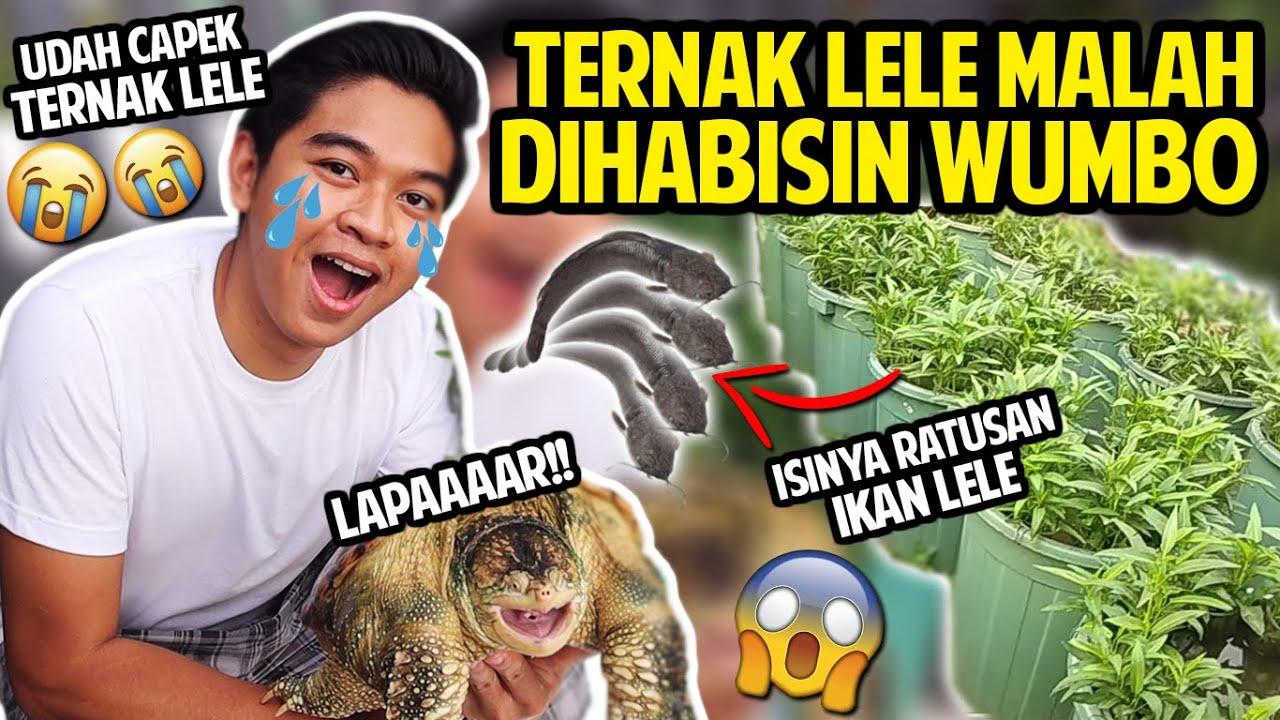 CAPEK-CAPEK TERNAK LELE DI EMBER MALAH DIHABISIN WUMBO ...