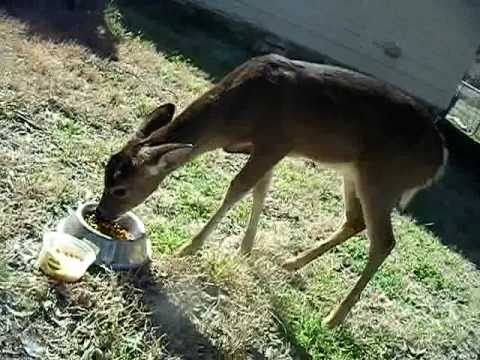 Cat Food Ratings >> Baby Deer Eating Cat Food - YouTube