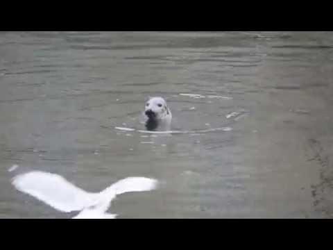 SEAL - BURGHEAD HARBOUR