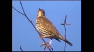 Голоса птиц  Дрозд
