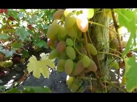 Сорт винограда Тимур розовый.