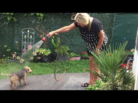 Lakeland Terrier Pucki - How to wash and dry a Lakie