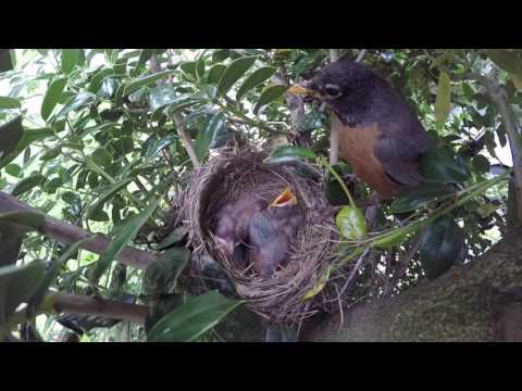 Robins Feed Baby Chicks Mom And Dad Eats Poop