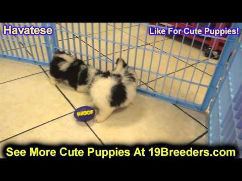 Havatese, Puppies, For, Sale, In, Philadelphia, Pennsylvania, PA, Borough, State, Erie, York