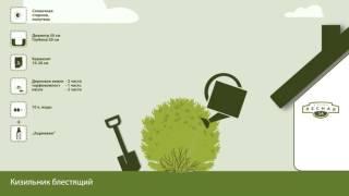 Кизильник блестящий. Инструкция по посадке. СадСвоимиРуками(Всего за пару минут получить подробную инструкцию по посадке растения: Кизильник блестящий. Как выбрать..., 2016-02-03T13:22:16.000Z)