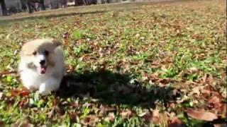 Corgi Puppy Running Hd