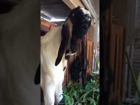 Kambing Etawa super Lokojoyo Farm klaten