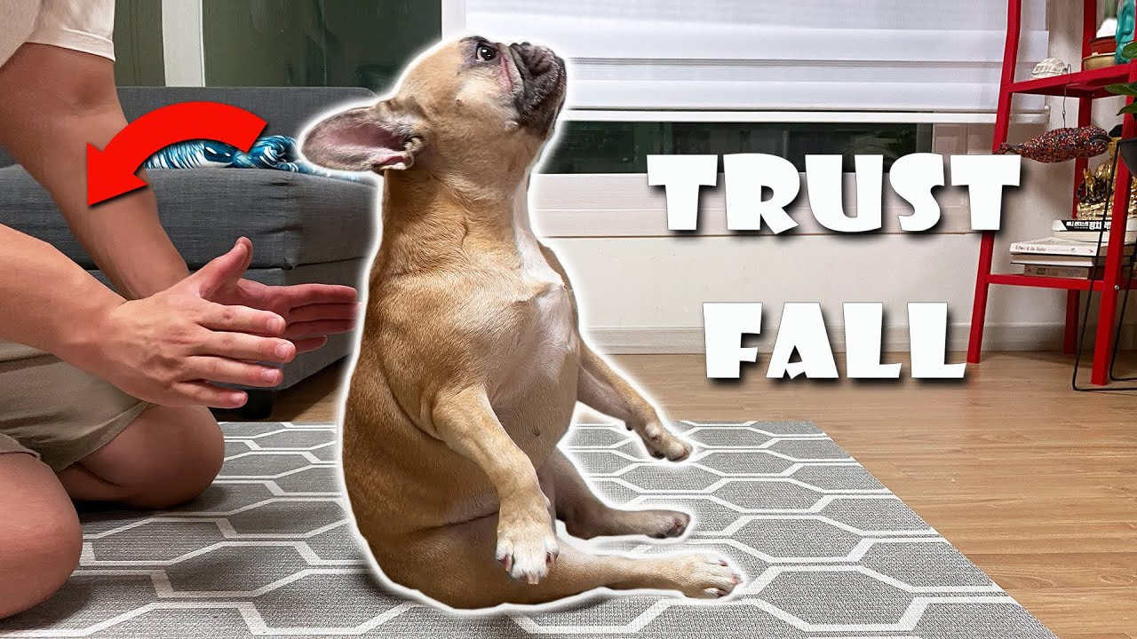 Can Your Dog Trust Fall This French Bulldog Loves To TRUST FALL