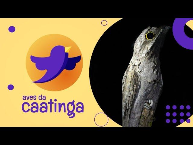 AVES DA CAATINGA #05 - Mãe da Lua
