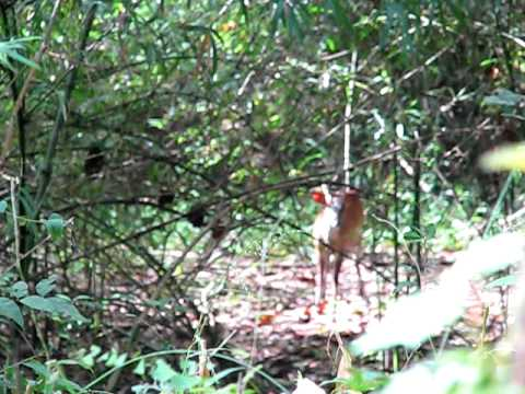 Barking Deer Calls