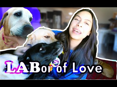 LABor of Love: Mini Series on Living with 10 Labradors | Ep 1