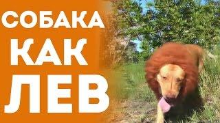 Собака Как Лев - Розыгрыш Людей На Улице (Приколы с животными, Смешное Видео, Юмор)