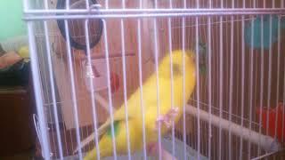 Попугай с колоколом на голове