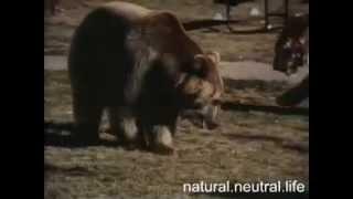 схватка медведя с тигром видео