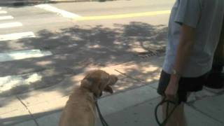 Ralph, A Labrador Retriever Learns To Walk In The City