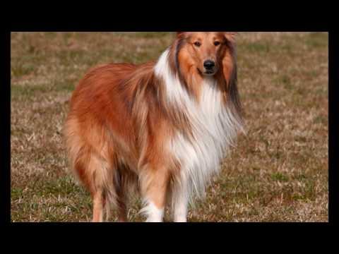 Conociendo al Collie de Pelo Largo Grupo1 F C I' Perros de Pastoreo'