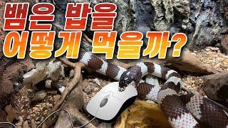 뱀 먹이! 킹스네이크 쥐 먹방! (시청주의)