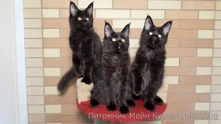 Котята Мейн Кун, чёрный солид, 3.5 месяца(, 2017-07-02T08:25:01.000Z)