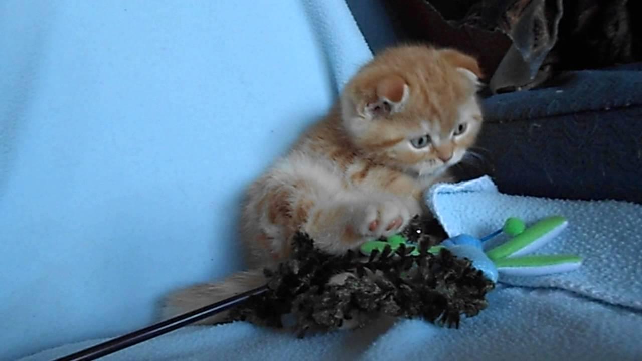 Из рук в руки домашние животные в москве. Шотландская вислоухая кошка продажа котят и взрослых кошек в москве. Частные объявления с фото. Шотландская вислоухая кошка (скоттиш фолд) в москве: купить или взять в дар. Подай объявление в своём городе.
