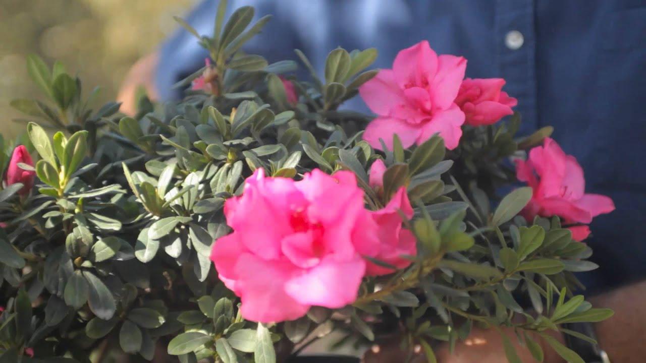 how to use azaleas as hedges fall u0026 winter gardening tips youtube