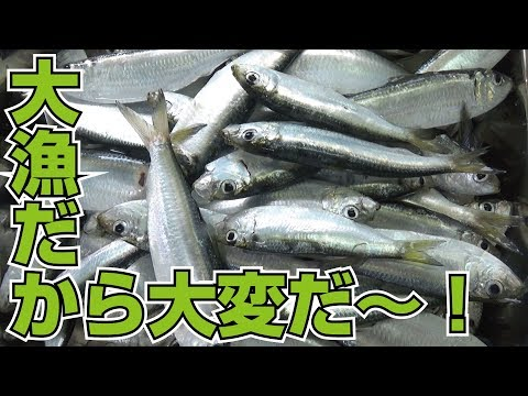 大漁のママカリ♪とりあえず刺身、残りは酢漬けだ!