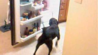 """canine Tutors"" Lab Pitbull Mix Gets Coke From The Refrigerator. San Luis Obispo,ca."