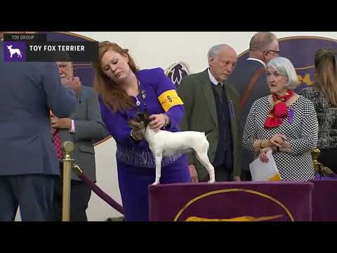 Toy Fox Terriers | Breed Judging 2020