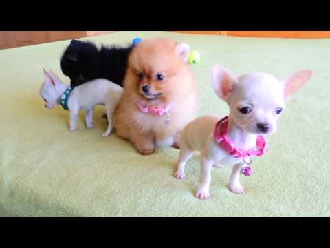 Pomeranian and Chihuahua Puppies for Sale
