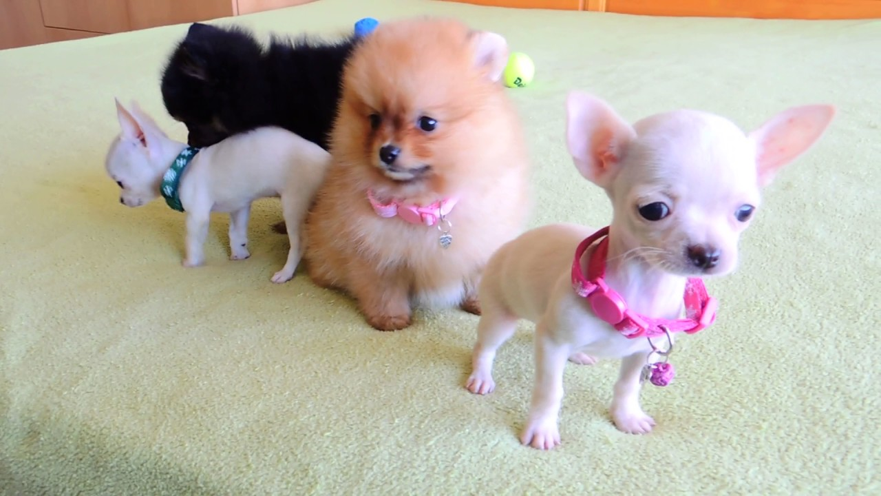 Pomeranian And Chihuahua Puppies For Sale Youtube