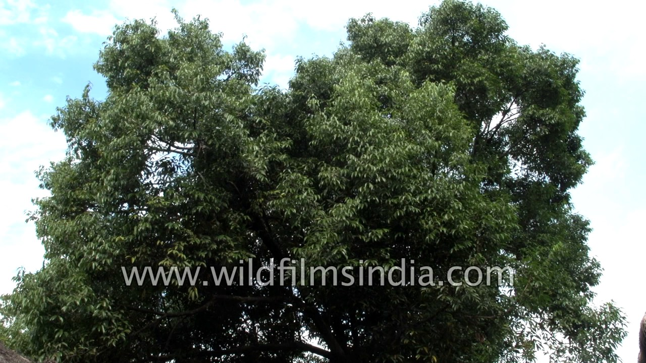 Bay Leaf Or Tej Patta An Aromatic Evergreen Tree From India Youtube
