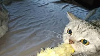 Прикол, кошка и кукуруза