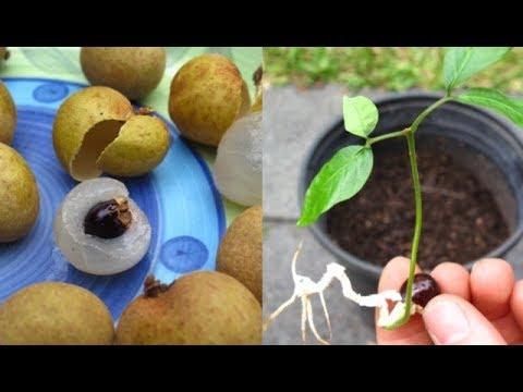 Growing And Tasting Longan Fruits