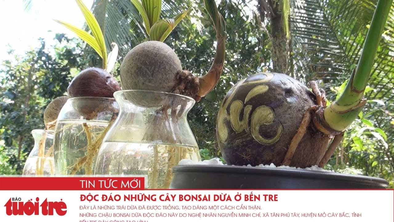 Độc đáo những cây bonsai dừa ở Bến Tre