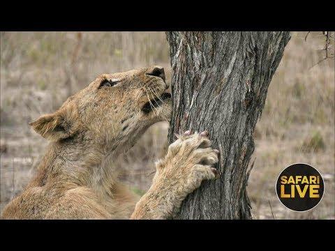 safariLIVE  - Sunset Safari - December 4, 2018