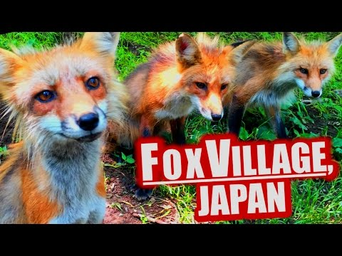 Fox Village, Japan: Cutest Place on Earth