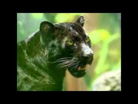 Пантеры (подборка фото)