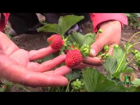 Чем отличается клубника от земляники? Как уберечь растения от болезней и вредителей?