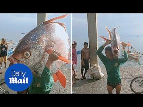 Filipino Fisherman Carries Giant 30 Kgs Moonfish Ashore