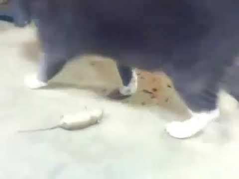 No te pierdas a este ratón haciéndose el muerto para no ser atrapado por un gato