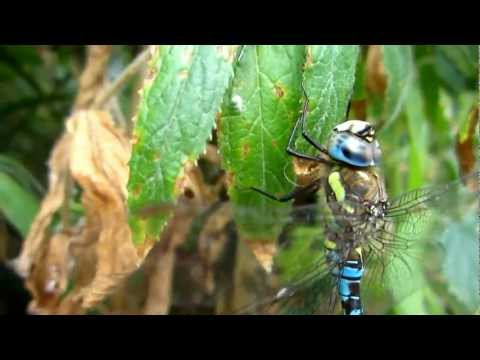 Migrant Hawker (Aeshna Mixta) - 2012-09-08