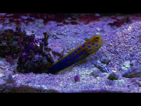 Blue Spot Jawfish VS Diamond Goby