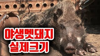 예비군들이 말하는 자동차크기의 멧돼지는 허풍일까?멧돼지 직접 찍어왔습니다