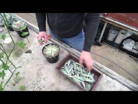 Эчеверия - размножение листьями