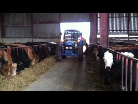 Breakfast time for cattle