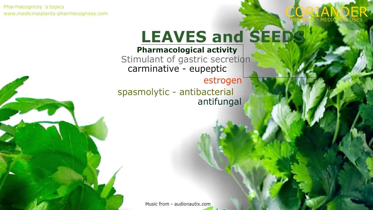 coriander. properties, benefits - pharmacognosy - medicinal