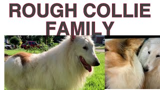 #ROUGH COLLIE DOGS