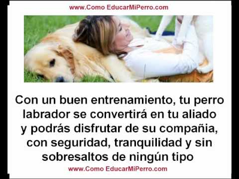 Como educar a un perro labrador golden retriever cachorro o adulto perros labradores youtube - Como banar a un perro ...